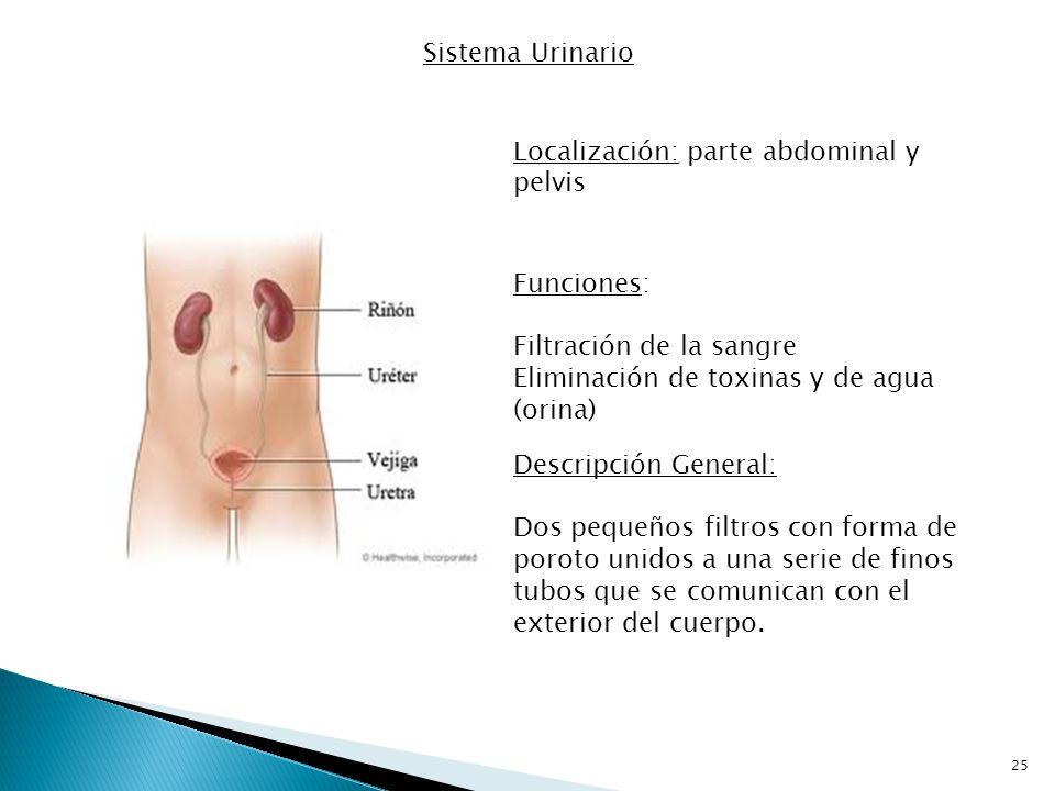 Sistema Urinario Localización: parte abdominal y pelvis. Funciones: Filtración de la sangre. Eliminación de toxinas y de agua (orina)