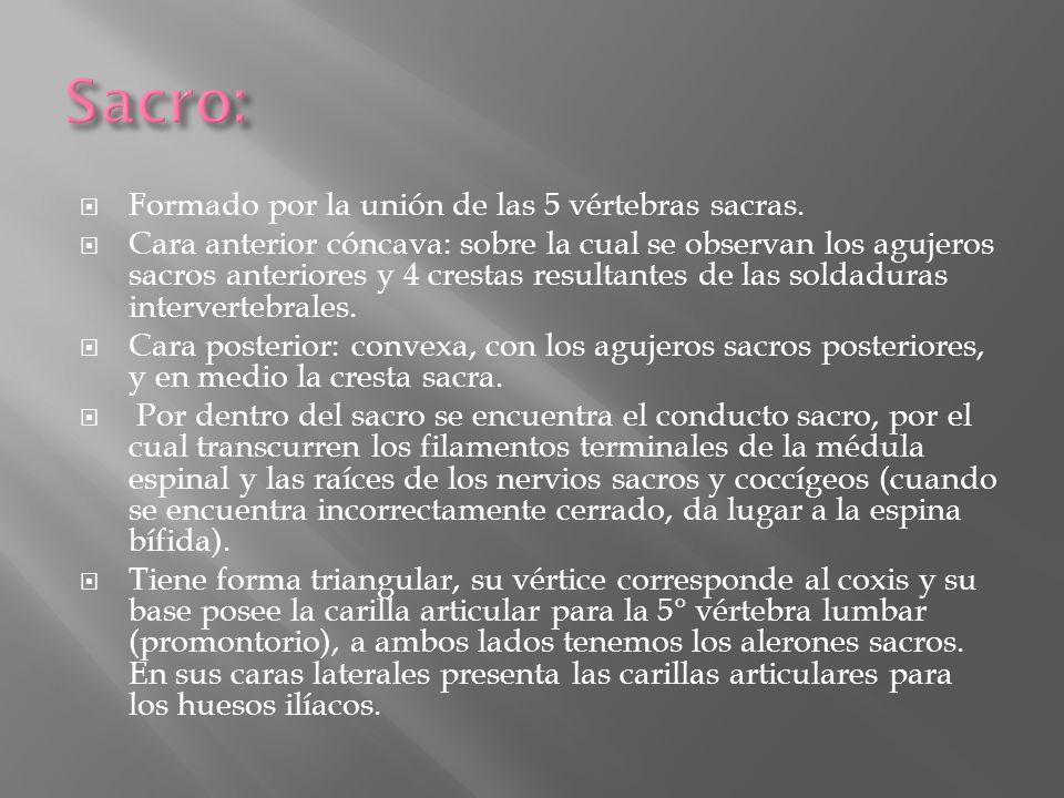 Sacro: Formado por la unión de las 5 vértebras sacras.