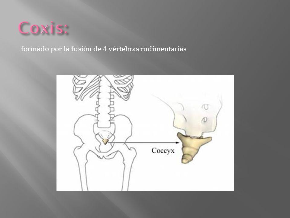 Coxis: formado por la fusión de 4 vértebras rudimentarias