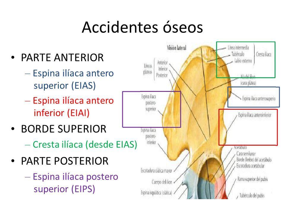 Accidentes óseos • PARTE ANTERIOR • BORDE SUPERIOR • PARTE POSTERIOR