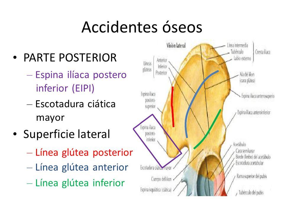 Accidentes óseos • PARTE POSTERIOR • Superficie lateral