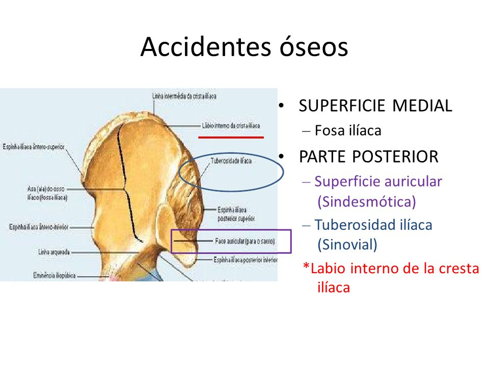 Accidentes óseos • SUPERFICIE MEDIAL • PARTE POSTERIOR – Fosa ilíaca