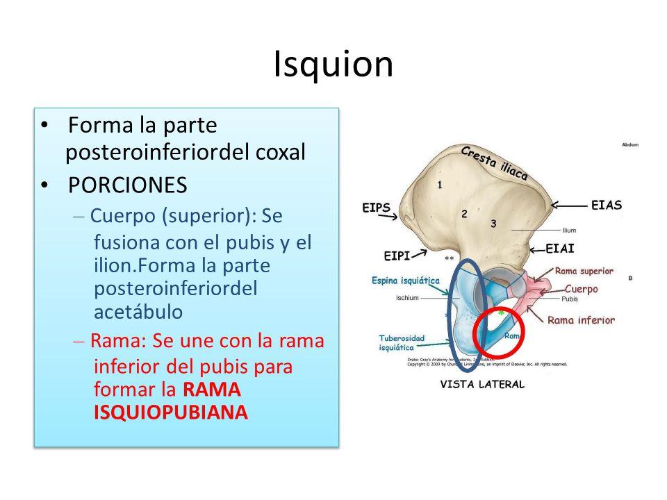 Isquion • Forma la parte posteroinferiordel coxal • PORCIONES