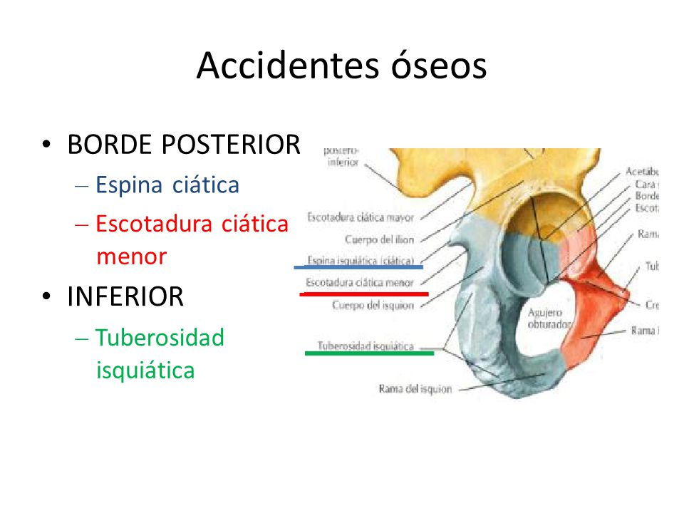 Accidentes óseos • BORDE POSTERIOR • INFERIOR – Espina ciática