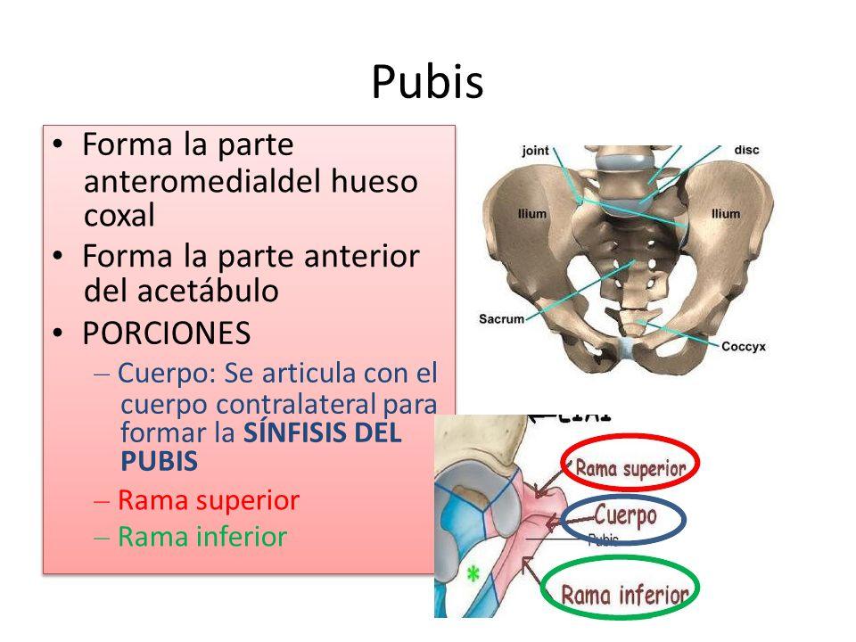 Pubis • Forma la parte anteromedialdel hueso coxal