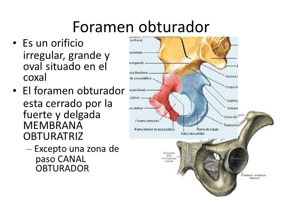 Foramen obturador • Es un orificio irregular, grande y