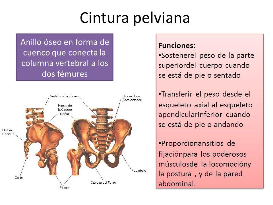 Cintura pelviana Anillo óseo en forma de Funciones: