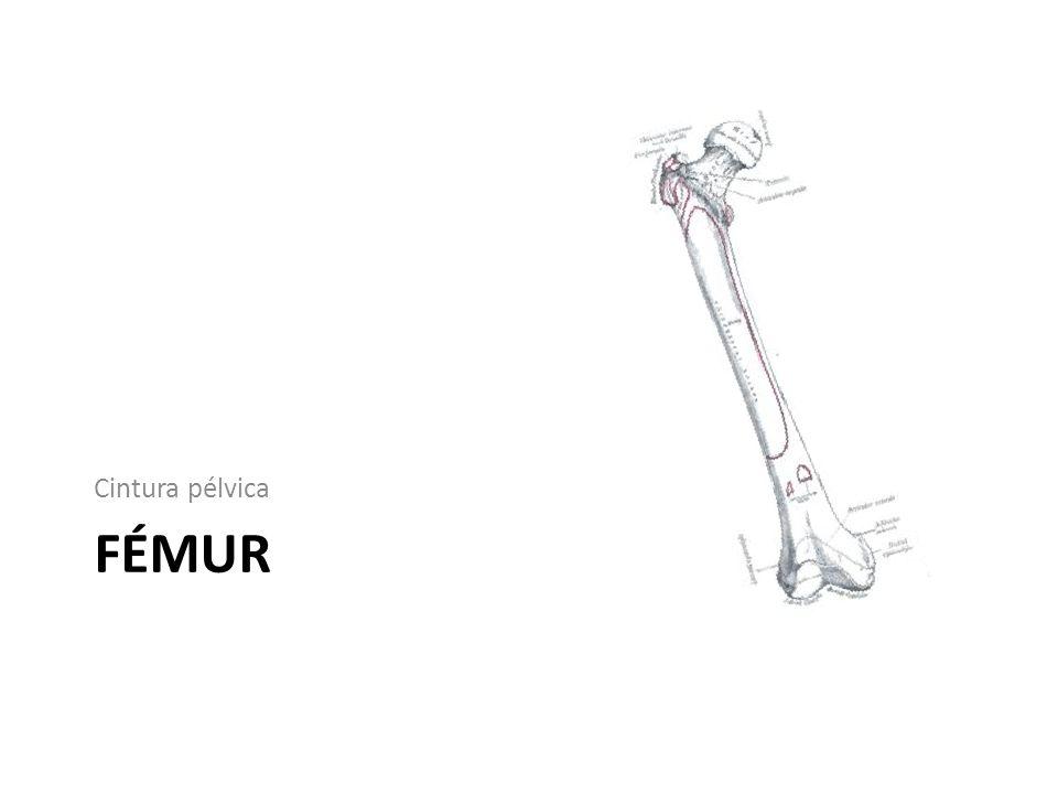 Cintura pélvica FÉMUR