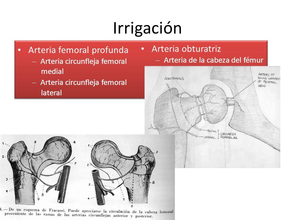 Irrigación • Arteria obturatriz • Arteria femoral profunda