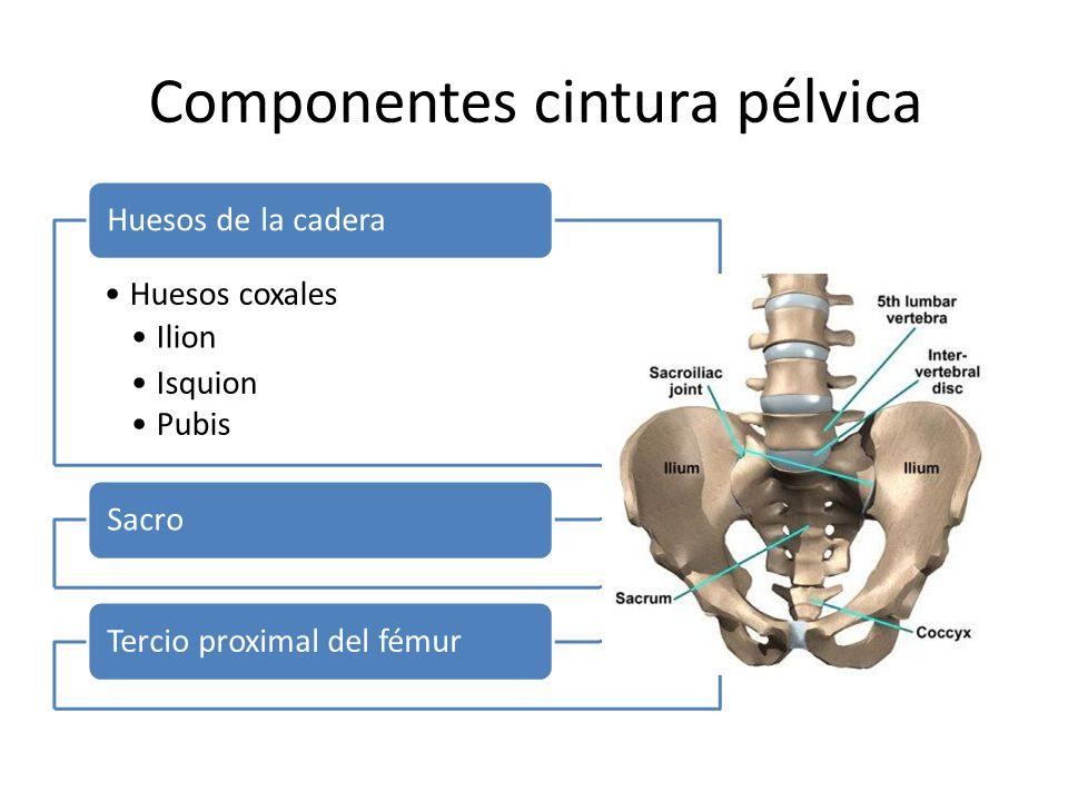 Componentes cintura pélvica