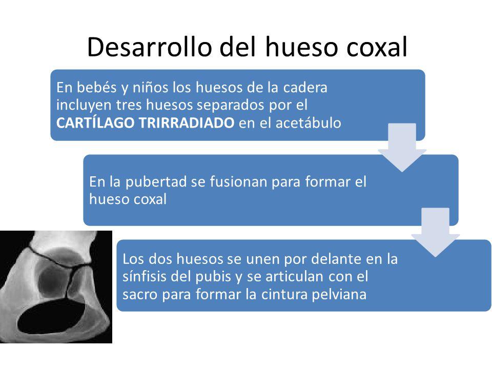 Desarrollo del hueso coxal