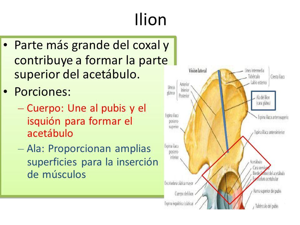 Ilion • Parte más grande del coxal y contribuye a formar la parte