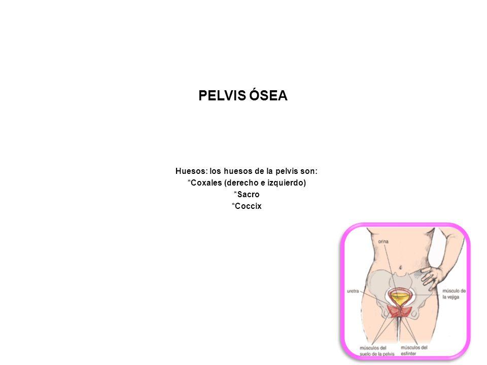 Huesos: los huesos de la pelvis son: *Coxales (derecho e izquierdo)