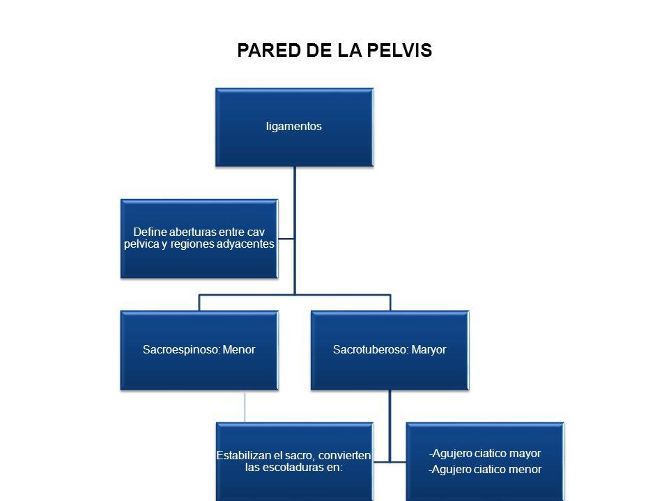 PARED DE LA PELVIS ligamentos