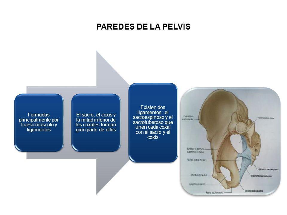 Formadas principalmente por hueso músculo y ligamentos