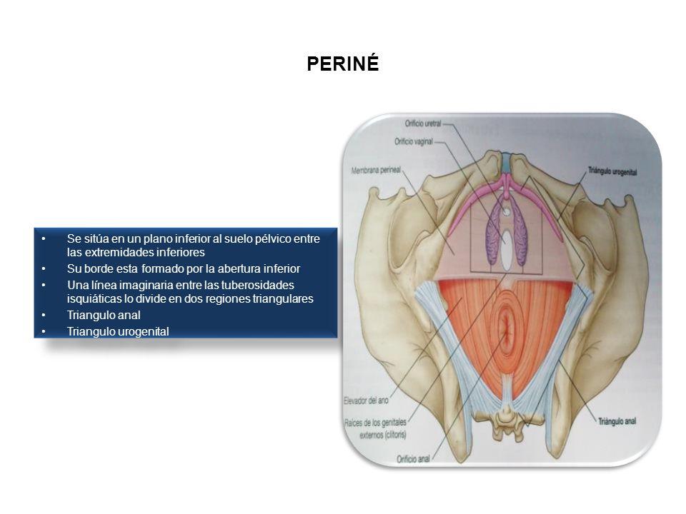 PERINÉ Se sitúa en un plano inferior al suelo pélvico entre las extremidades inferiores. Su borde esta formado por la abertura inferior.