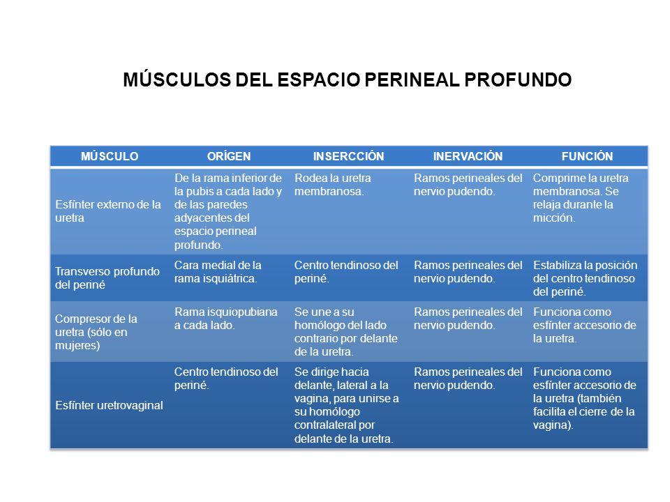 MÚSCULOS DEL ESPACIO PERINEAL PROFUNDO