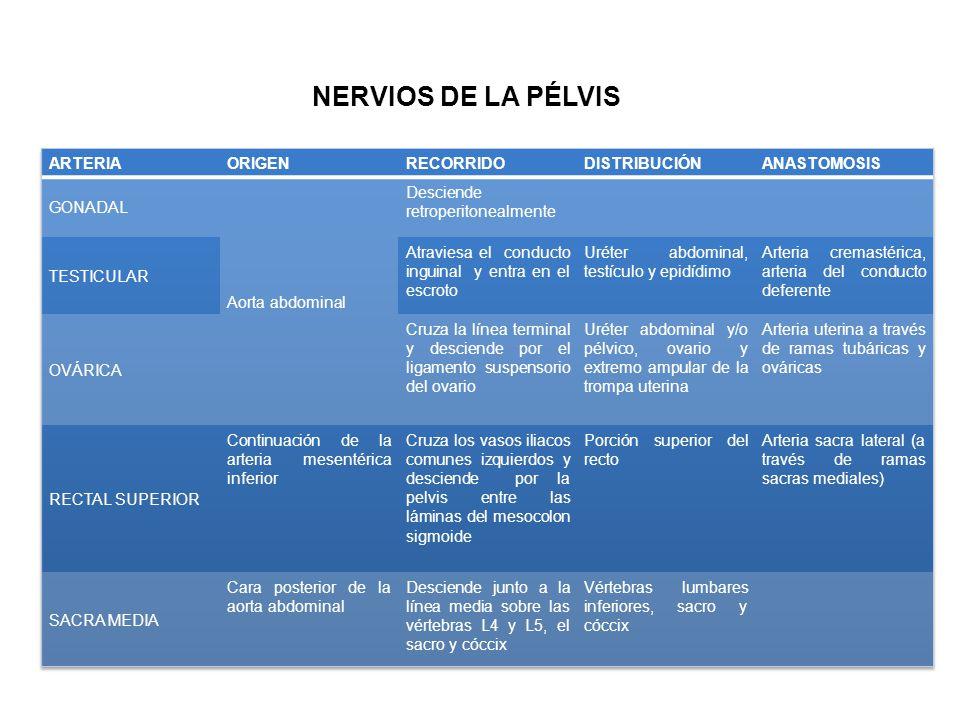 NERVIOS DE LA PÉLVIS ARTERIA ORIGEN RECORRIDO DISTRIBUCIÓN ANASTOMOSIS
