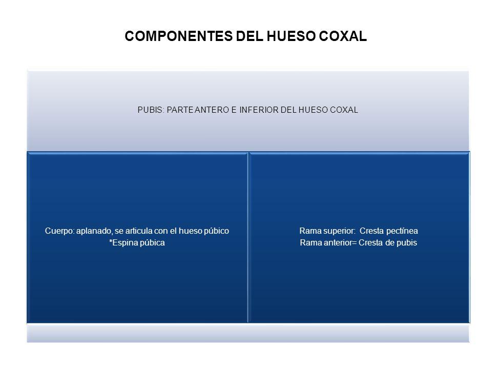 COMPONENTES DEL HUESO COXAL