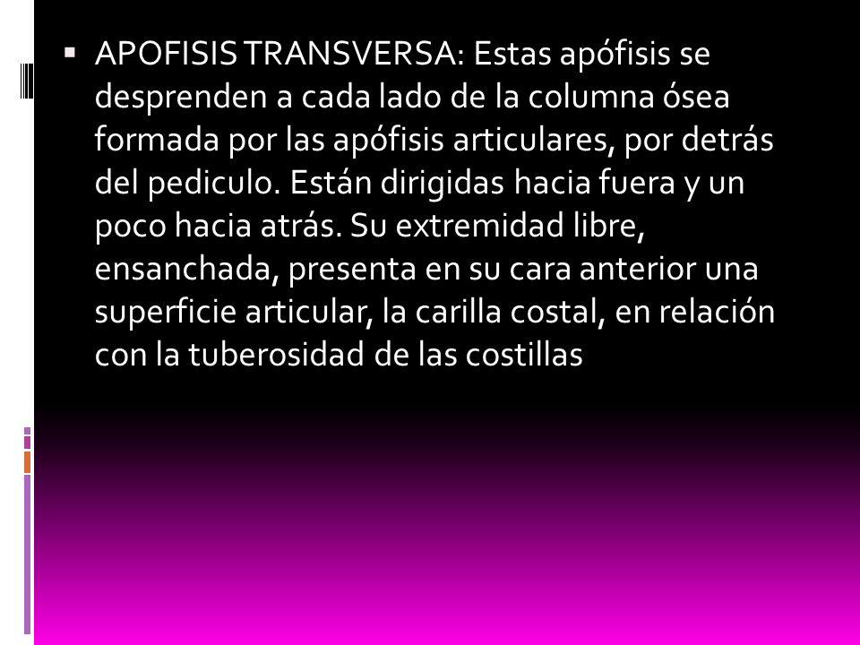 APOFISIS TRANSVERSA: Estas apófisis se desprenden a cada lado de la columna ósea formada por las apófisis articulares, por detrás del pediculo.