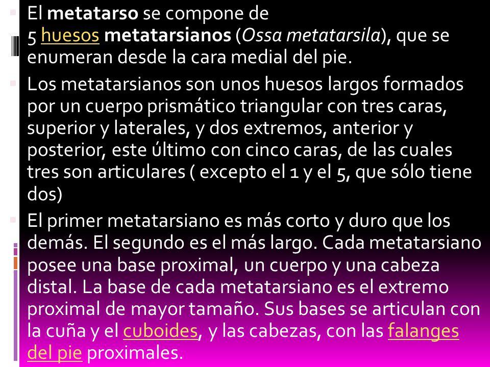El metatarso se compone de 5 huesos metatarsianos (Ossa metatarsila), que se enumeran desde la cara medial del pie.