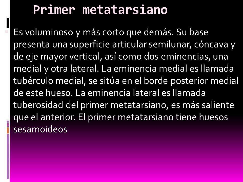 Primer metatarsiano
