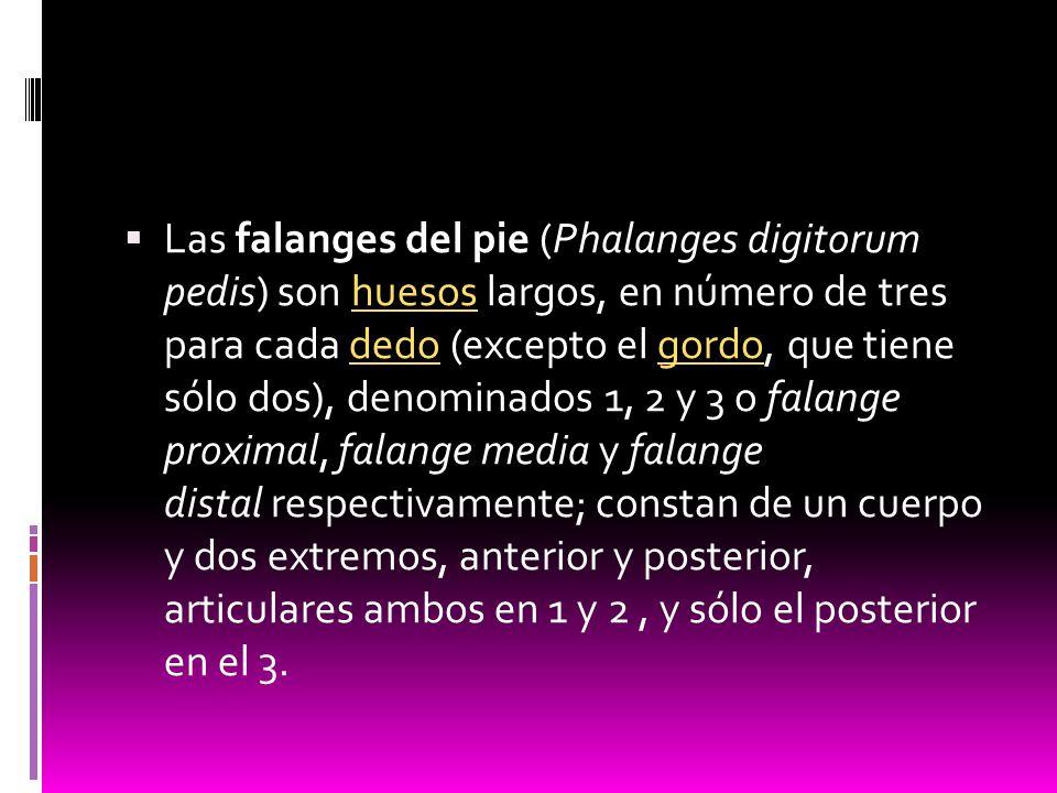 Las falanges del pie (Phalanges digitorum pedis) son huesos largos, en número de tres para cada dedo (excepto el gordo, que tiene sólo dos), denominados 1, 2 y 3 o falange proximal, falange media y falange distal respectivamente; constan de un cuerpo y dos extremos, anterior y posterior, articulares ambos en 1 y 2 , y sólo el posterior en el 3.