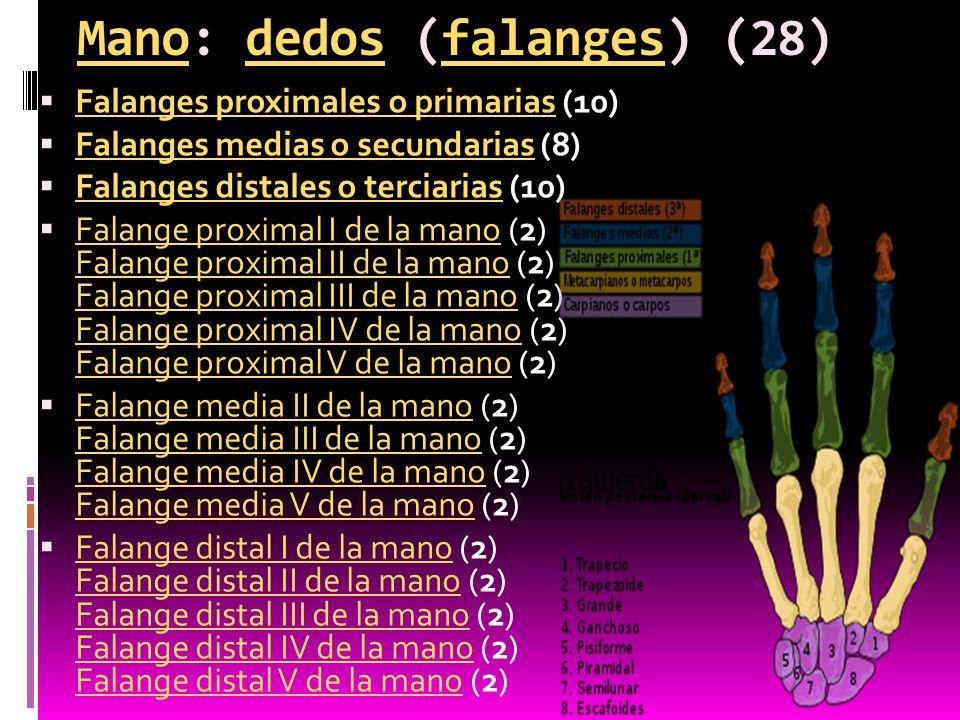 Mano: dedos (falanges) (28)