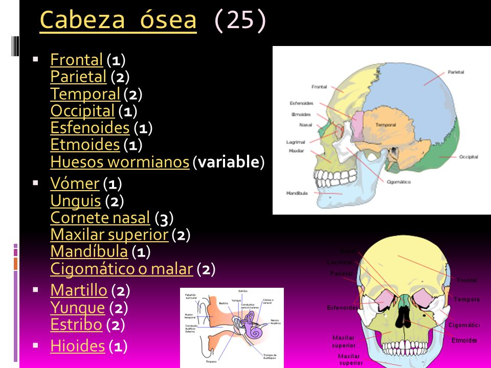 Cabeza ósea (25) Frontal (1) Parietal (2) Temporal (2) Occipital (1) Esfenoides (1) Etmoides (1) Huesos wormianos (variable)