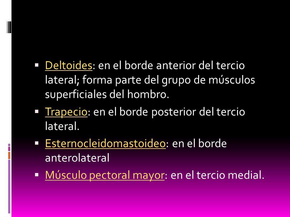 Deltoides: en el borde anterior del tercio lateral; forma parte del grupo de músculos superficiales del hombro.
