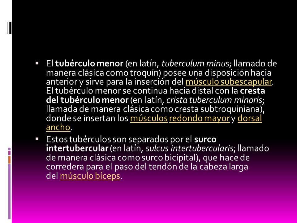 El tubérculo menor (en latín, tuberculum minus; llamado de manera clásica como troquín) posee una disposición hacia anterior y sirve para la inserción del músculo subescapular. El tubérculo menor se continua hacia distal con la cresta del tubérculo menor (en latín, crista tuberculum minoris; llamada de manera clásica como cresta subtroquiniana), donde se insertan los músculos redondo mayor y dorsal ancho.