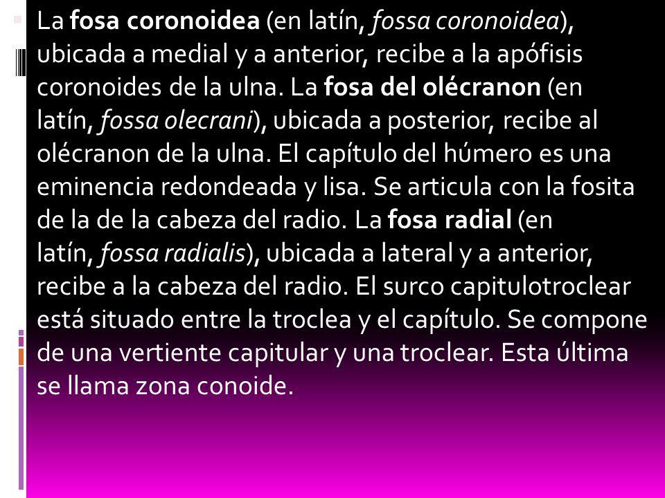 La fosa coronoidea (en latín, fossa coronoidea), ubicada a medial y a anterior, recibe a la apófisis coronoides de la ulna.