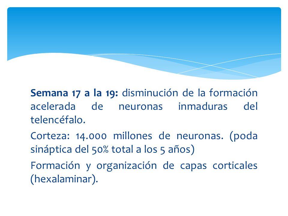 Semana 17 a la 19: disminución de la formación acelerada de neuronas inmaduras del telencéfalo.