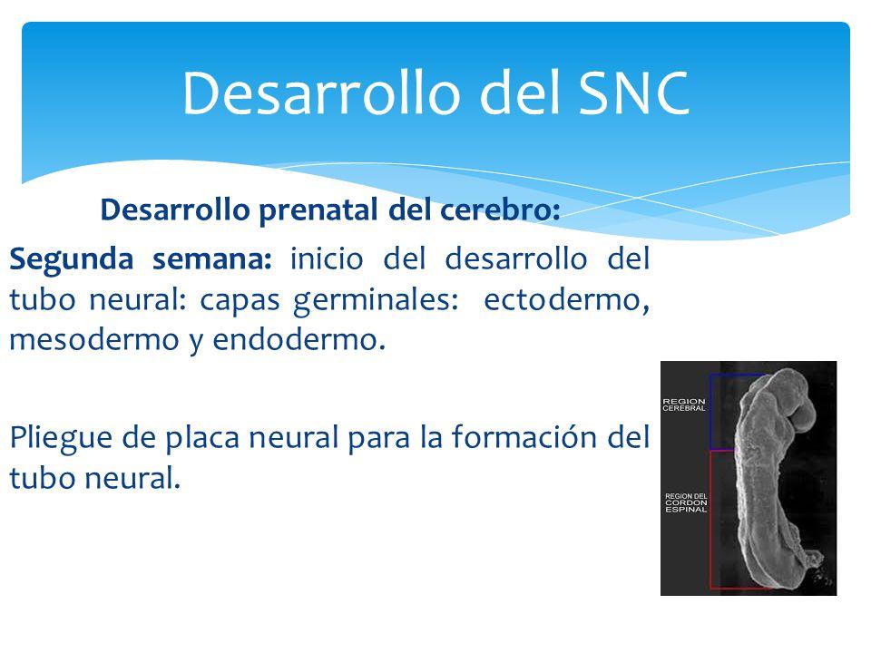 Desarrollo del SNC
