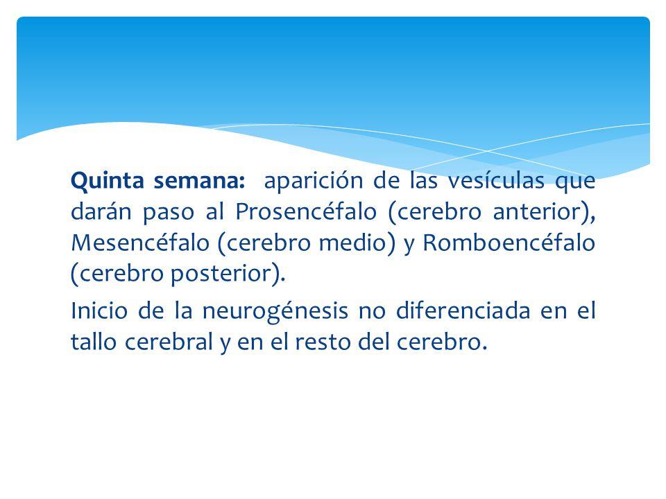 Quinta semana: aparición de las vesículas que darán paso al Prosencéfalo (cerebro anterior), Mesencéfalo (cerebro medio) y Romboencéfalo (cerebro posterior).
