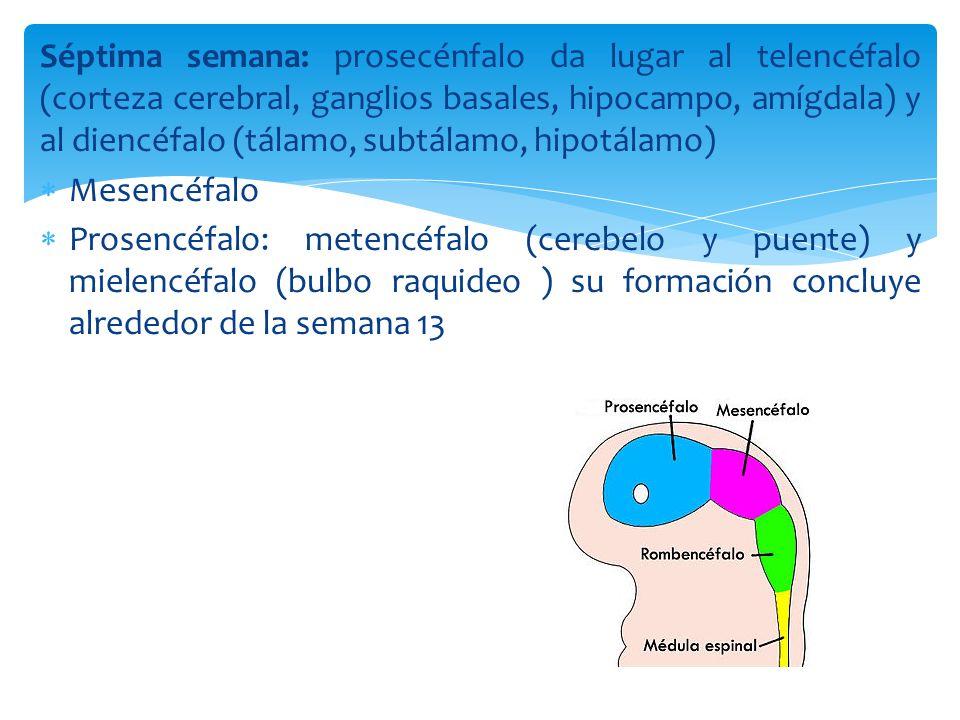 Séptima semana: prosecénfalo da lugar al telencéfalo (corteza cerebral, ganglios basales, hipocampo, amígdala) y al diencéfalo (tálamo, subtálamo, hipotálamo)