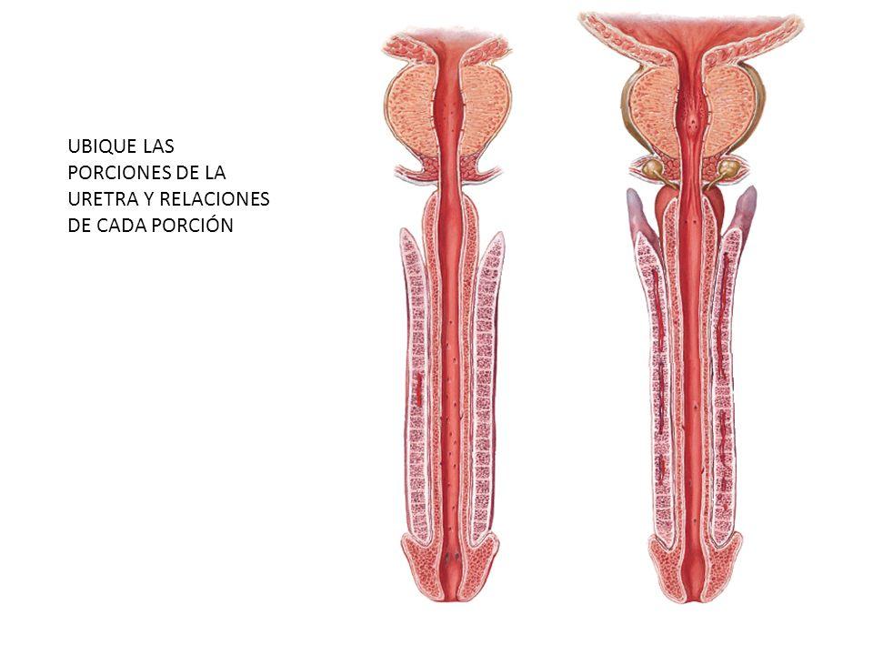 UBIQUE LAS PORCIONES DE LA URETRA Y RELACIONES DE CADA PORCIÓN