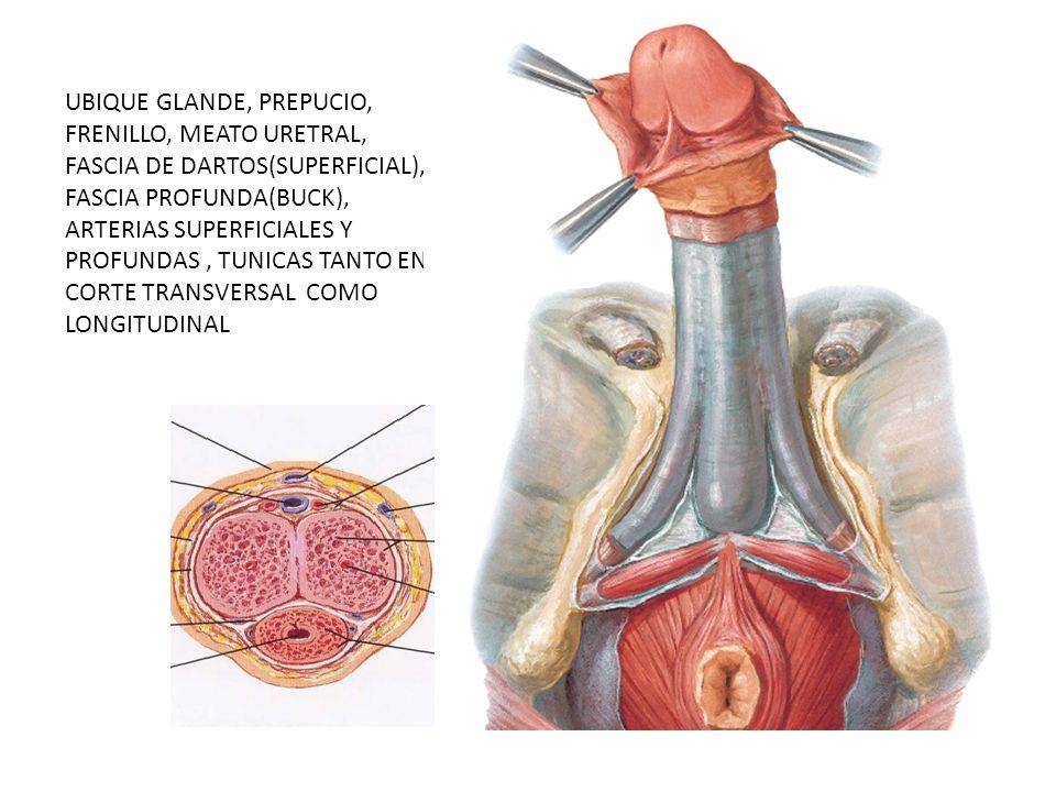 UBIQUE GLANDE, PREPUCIO, FRENILLO, MEATO URETRAL, FASCIA DE DARTOS(SUPERFICIAL), FASCIA PROFUNDA(BUCK), ARTERIAS SUPERFICIALES Y PROFUNDAS , TUNICAS TANTO EN CORTE TRANSVERSAL COMO LONGITUDINAL