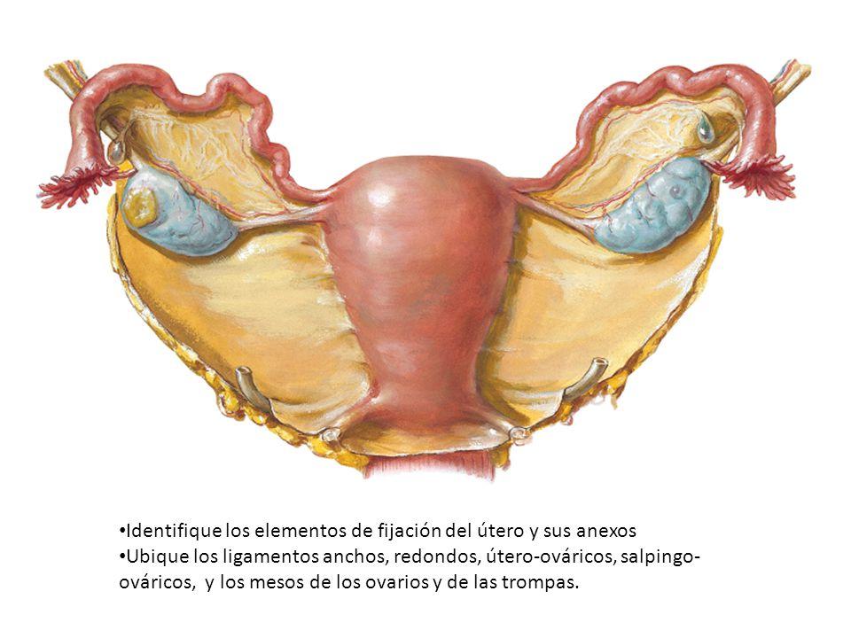 Identifique los elementos de fijación del útero y sus anexos