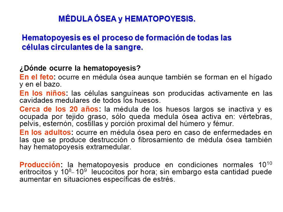 MÉDULA ÓSEA y HEMATOPOYESIS.