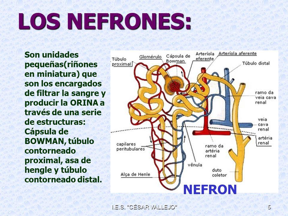 LOS NEFRONES: