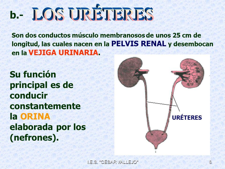 LOS URÉTERES b.-