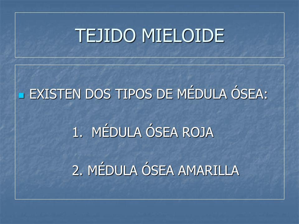 TEJIDO MIELOIDE EXISTEN DOS TIPOS DE MÉDULA ÓSEA: 1. MÉDULA ÓSEA ROJA