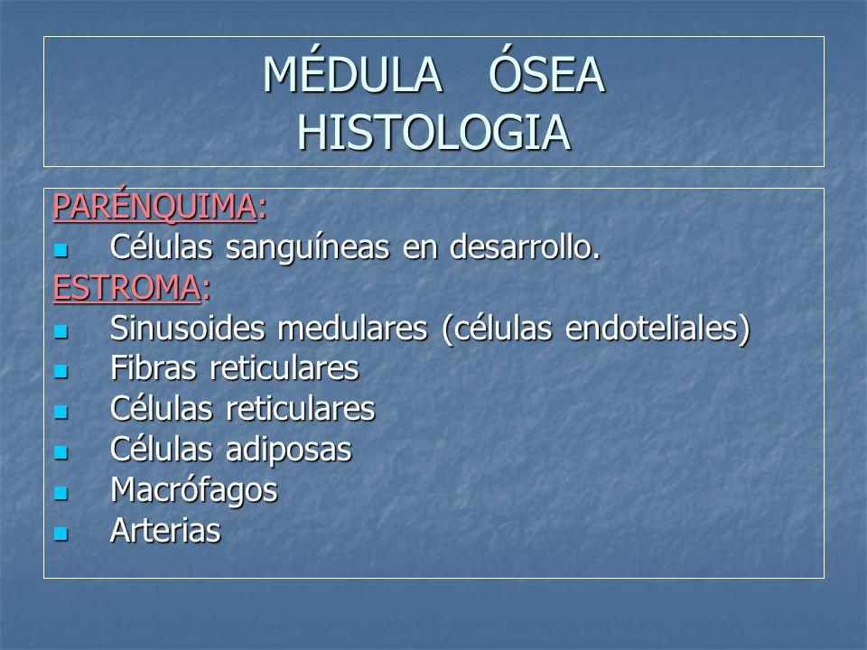 MÉDULA ÓSEA HISTOLOGIA