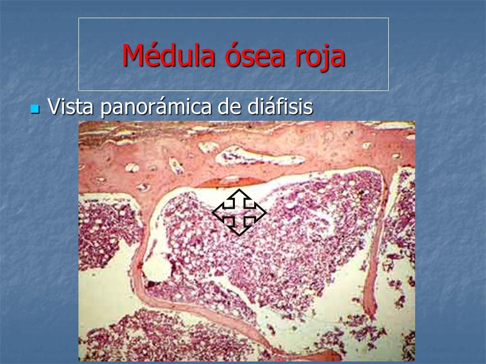 Médula ósea roja Vista panorámica de diáfisis