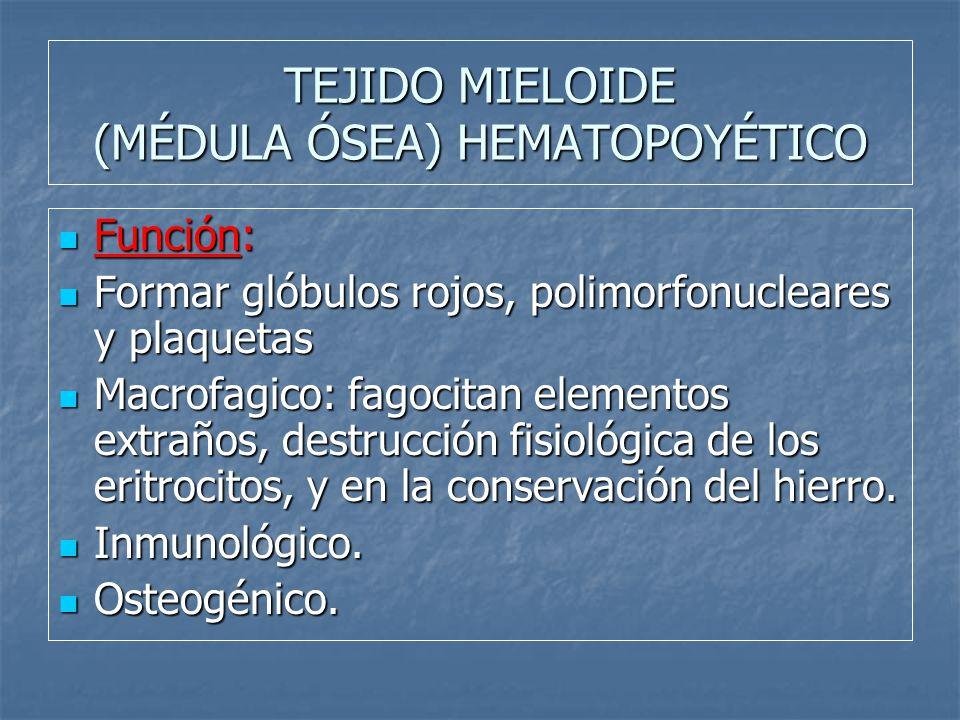 TEJIDO MIELOIDE (MÉDULA ÓSEA) HEMATOPOYÉTICO