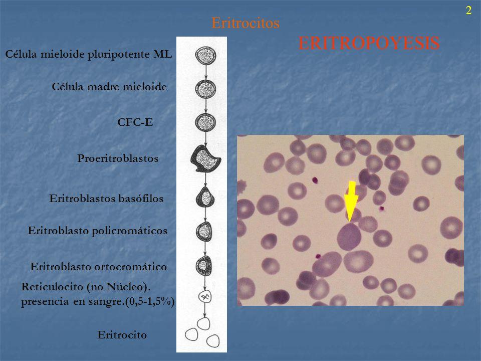 ERITROPOYESIS Eritrocitos 2 Célula mieloide pluripotente ML