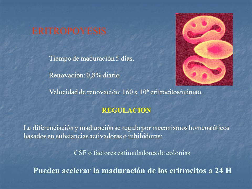 ERITROPOYESIS Pueden acelerar la maduración de los eritrocitos a 24 H
