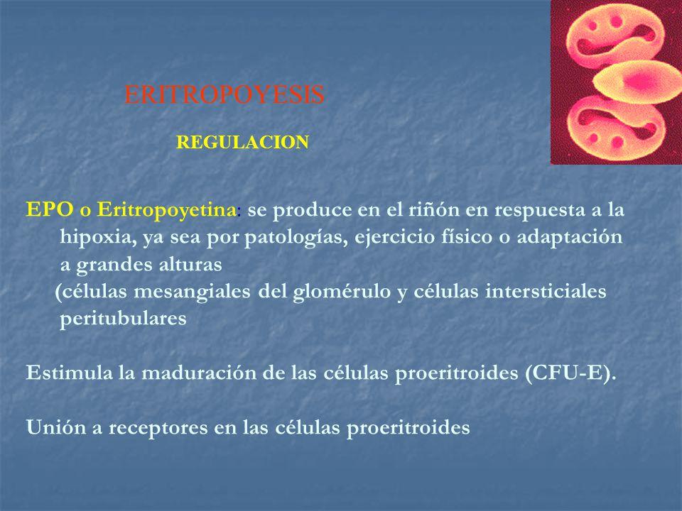 ERITROPOYESIS REGULACION.