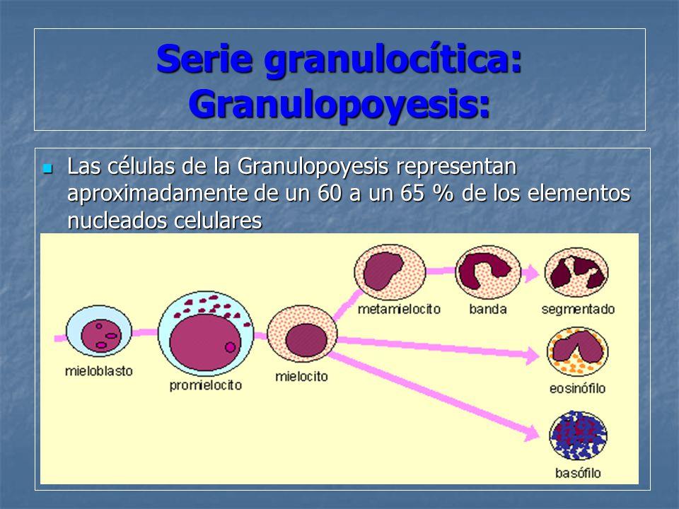 Serie granulocítica: Granulopoyesis: